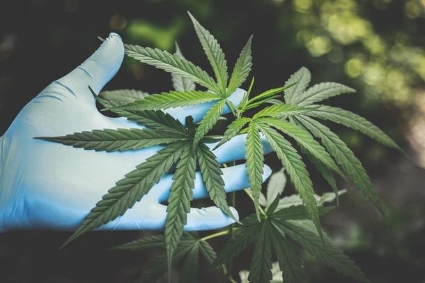 Кому продать марихуану как влияет конопля на потомство